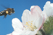 Pollen-laden honey bee flying toward apple blossom
